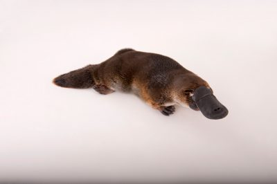 Picture of a platypus (Ornithorhynchus anatinus) at the Healesville Wildlife Sanctuary.