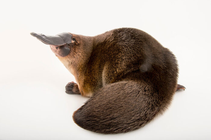 Photo: A platypus (Ornithorhynchus anatinus) at the Healesville Sanctuary.