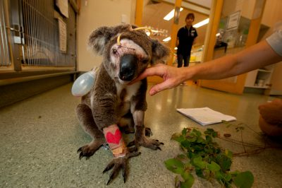 Photo: Mangled terribly after being attacked by a dog, Bruzer the koala slowly makes a comeback at the Australia Zoo Wildlife Hospital.