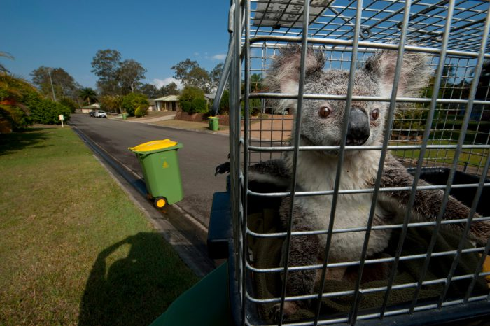 Photo: A male koala awaits a checkup and relocation to another locale.