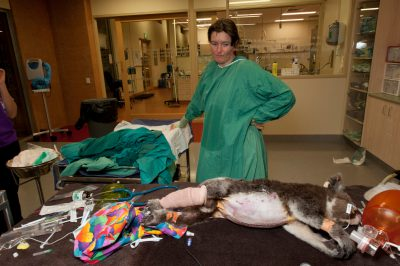 Photo: Four hours of surgery wasn't enough to save this female koala, whose abdomen was crushed by dogs.