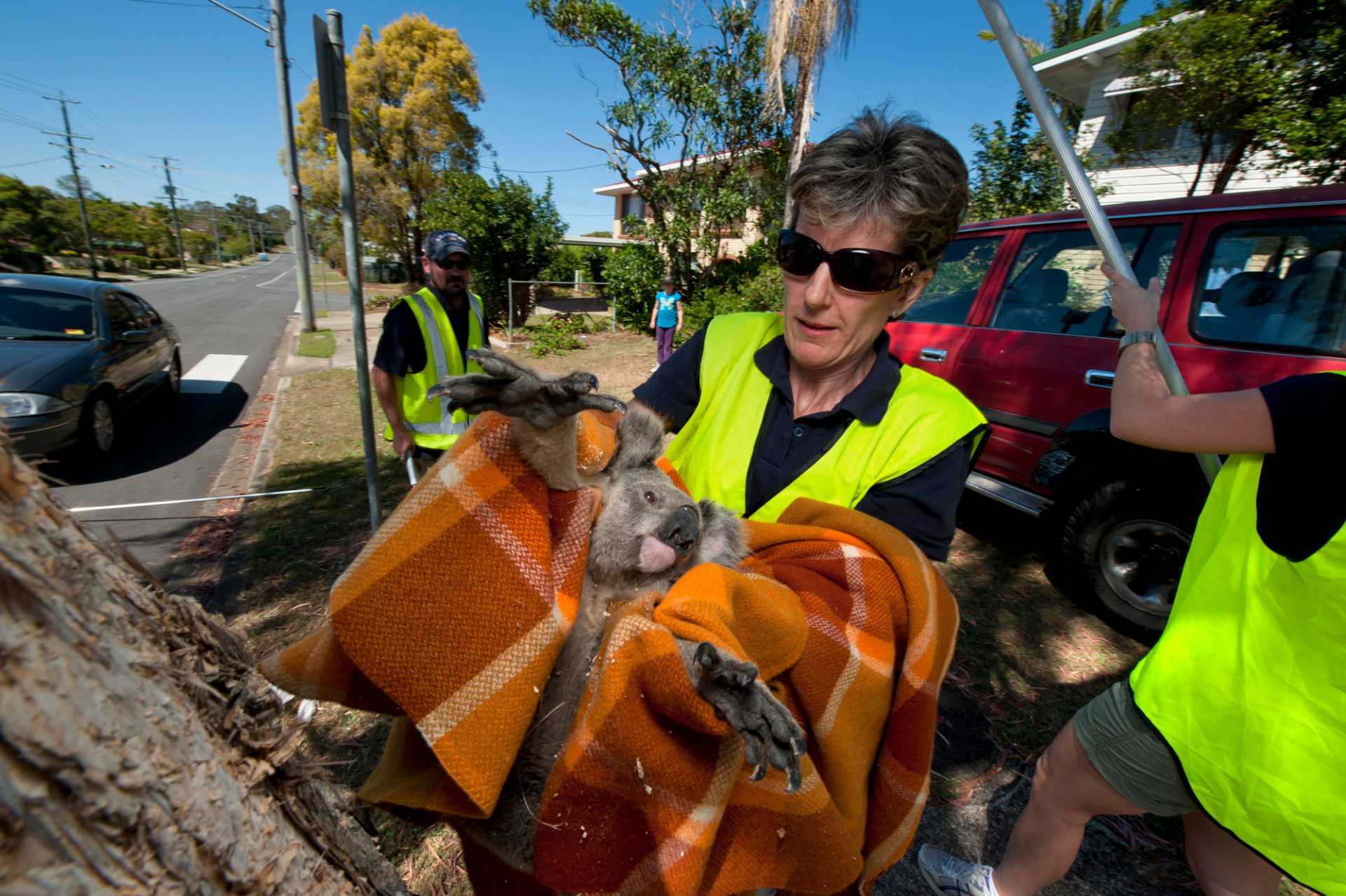 Photo: Megan Aitken of the Moreton Bay Koala Rescue Team uses a blanket to secure a young male koala who had been hit by a car.