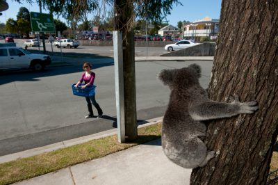 Photo: A three-year-old female koala is trapped in a tree in a the front yard of a house in Petrie, Queensland.