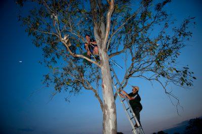 Photo: The Sunshine Coast Koala Rescue team pulls a female koala with conjunctivitis out of a tree in Kilcoy, Australia.
