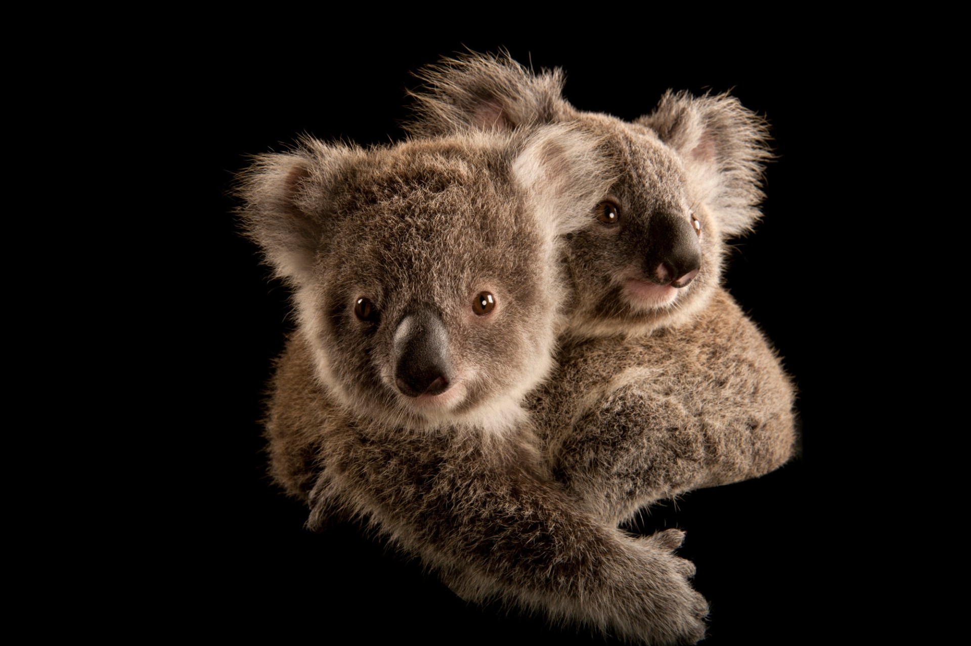 Two koala joeys cling to each other, waiting to be placed with human caregivers. Once they're old enough, they'll be released into the wild.