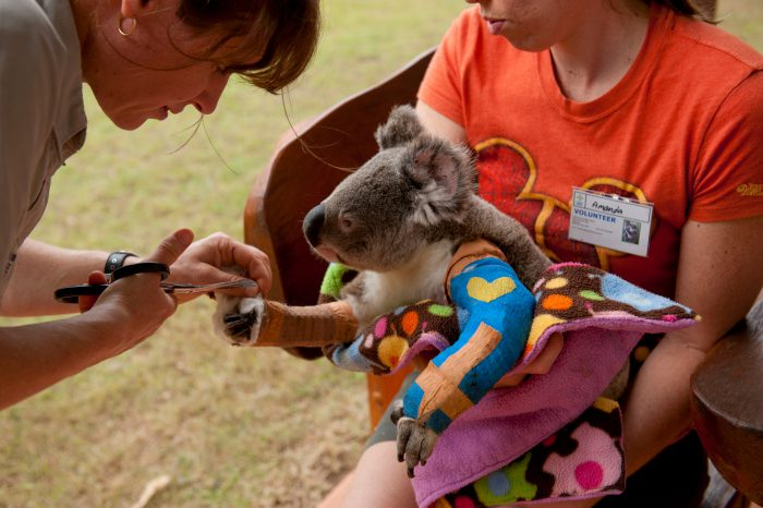 Photo: Harley the koala gets his cast trimmed by Vicky Toomey at the Australia Zoo Wildlife Hospital.
