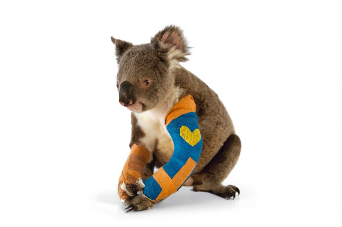 Harley the federally threatened Queensland koala (Phascolarctos cinereus adustus) recovers from two broken legs at the Australia Zoo Wildlife Hospital in Queensland. He was hit by a car, which is a common occurrence with koalas and fatal for many.