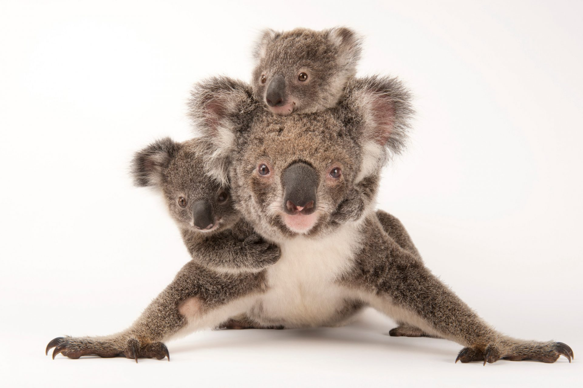 Photo: Augustine, a mother koala with her young ones Gus and Rupert (one is adopted and one is her own offspring) at the Australia Zoo Wildlife Hospital.