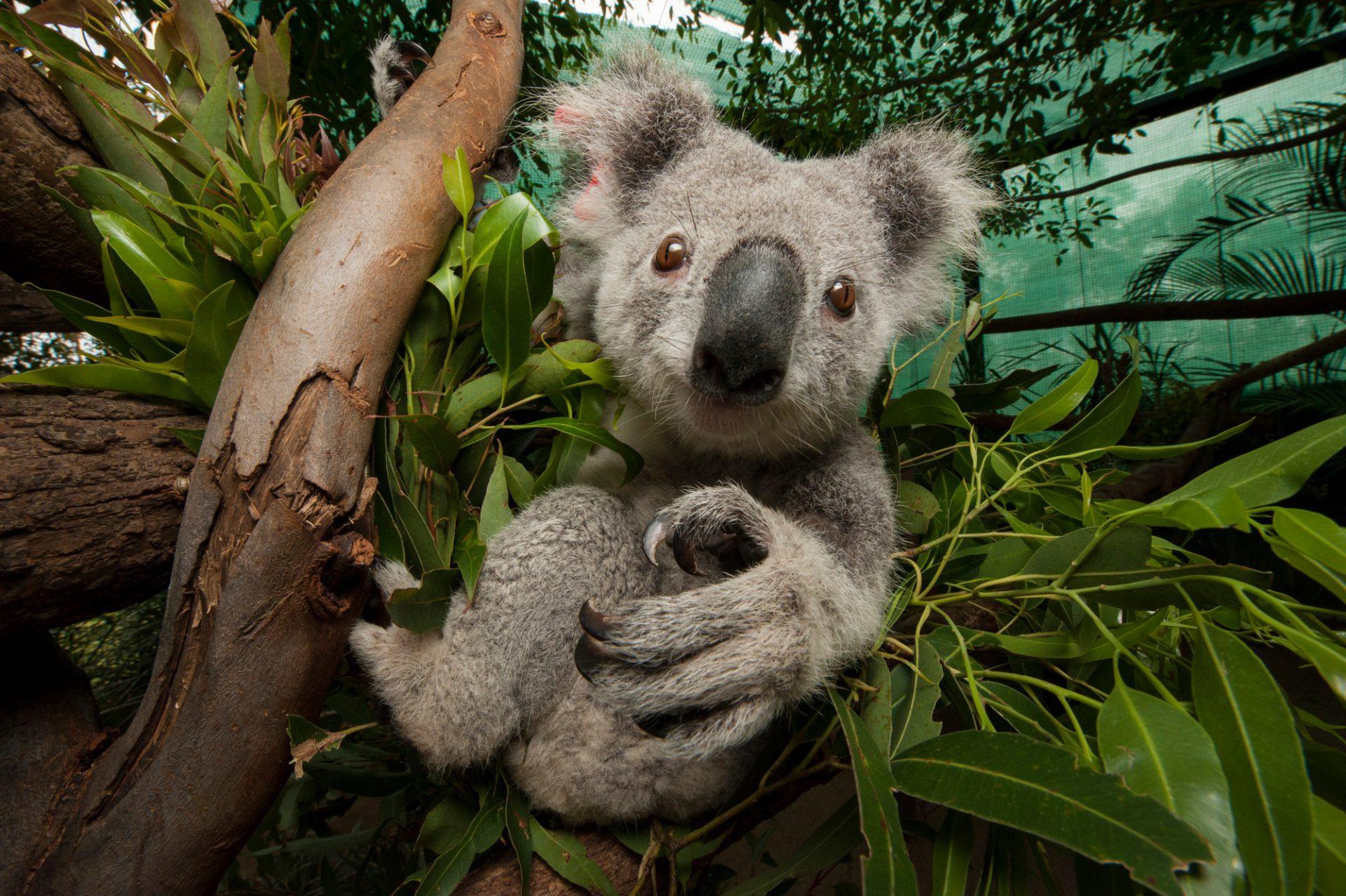 рюриковичи коала на бамбуке картинки хотела, чтобы