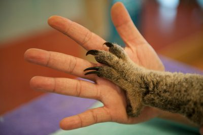 Photo: The paw of a sick koala rests against the hand of a woman at the Australia Zoo Wildlife Hospital.