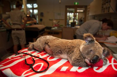 Photo: An injured koala at the Australia Zoo Wildlife Hospital.