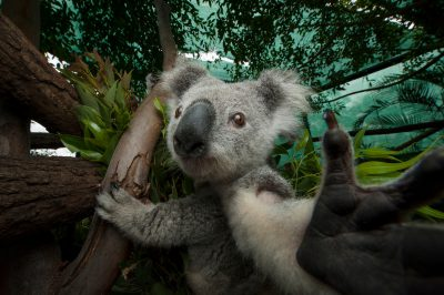 Photo: A koala inside the 'rainforest', a fenced habitat at the Australia Zoo Wildlife Hospital where koalas learn to forage on their own.