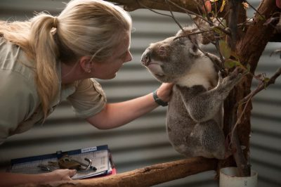 Photo: A veterinarian checks the conjunctivitis in a sick koala at the Australia Zoo Wildlife Hospital.
