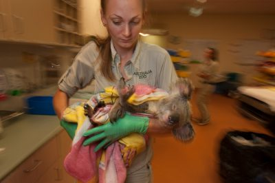 Photo: A nurse treats an animal with cystitis at the Australia Zoo Wildlife Hospital.