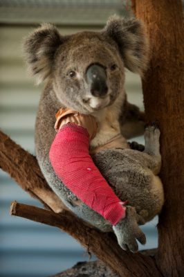 Photo: A koala named 'Poseidon', recovers at the Australia Zoo Wildlife Hospital from a dog attack.