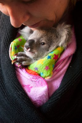 Photo: A woman hand-raisies an orphaned koala baby.