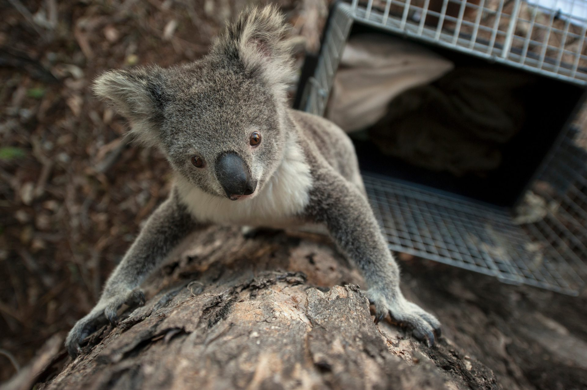 Photo: A three-year-old female koala is relocated from a suburban area to a local park.
