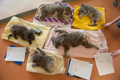 Photo: Koalas recuperate at the Australia Zoo Wildlife Hospital.