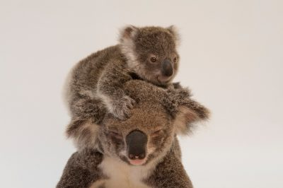 A picture of a mother koala named Augustine and her baby (Phascolarctos cinereus) at the Australia Zoo Wildlife Hospital in Queensland.