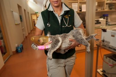 Photo: An anesthetized koala is carried back from the X-Ray room.