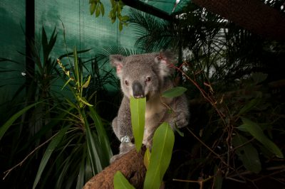 Photo: Young koalas recuperate from disease and traumatic injury in 'The Rainforest', an enclosed space for recovering koalas at the wildlife hospital.