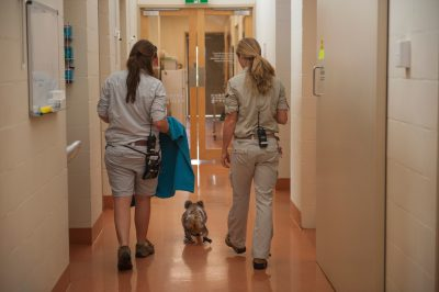 Photo: A koala with a walking disability is evaluated on the move by zoo veterinarians.