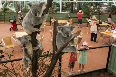 Photo: The dining area is surrounded by koalas at Lone Pine Koala Sanctuary near Brisbane.