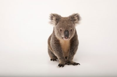 Photo: A hand-raised koala (Phascolarctos cinereus) at Dreamworld.
