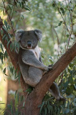 Photo: A southern koala on display at Healesville Sanctuary near in Healesville, Victoria, Australia