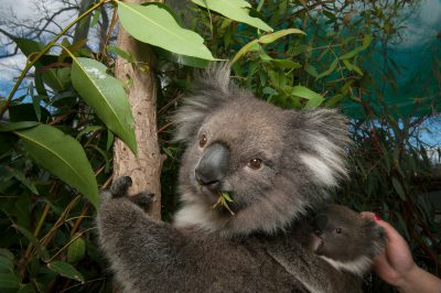 Photo: A baby southern Koala is petted while still on its mother in an effort to habituate it to human handlers at the Melbourne Zoo.