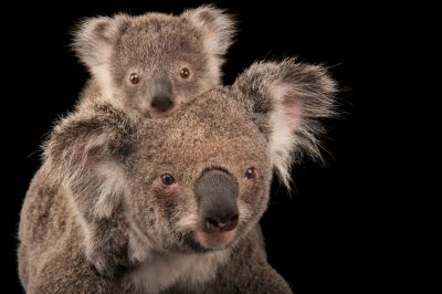 Photo: A federally threatened koala (Phascolarctos cinereus) with her baby at the Australia Zoo Wildlife Hospital.
