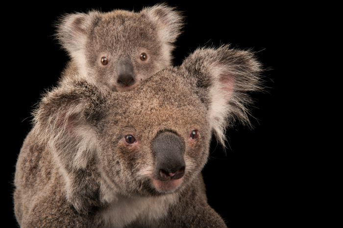 Photo: A federally threatened koala (Phascolarctos cinereus) with her baby at the Australia Zoo Wildlife Hospital.