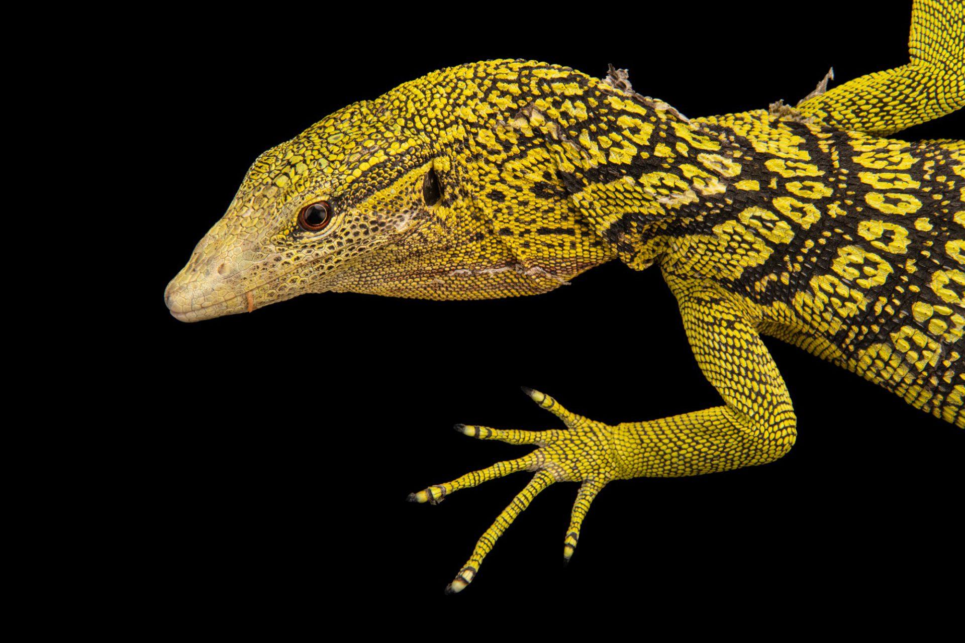 Photo: Yellow tree monitor (Varanus reisingeri) at Davao Crocodile Park.