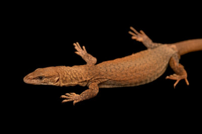 Photo: A female kings' rock monitor (Varanus kingorum) from a private collection in Omaha, Nebraska.