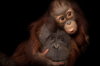 An endangered baby Bornean orangutan (Pongo pygmaeus) named Aurora, with her adoptive mother, Cheyenne, a Bornean/Sumatran cross (Pongo pygmaeus x abelii) at the Houston Zoo. (Not available for licensing.)