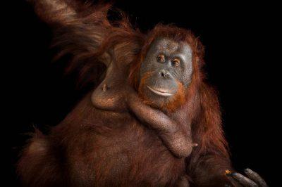 Kelly, an endangered Bornean orangutan (Pongo pygmaeus) at the Houston Zoo.
