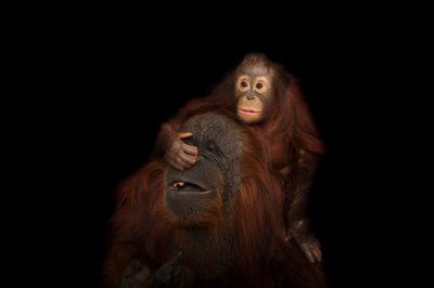 An endangered baby Bornean orangutan (Pongo pygmaeus) named Aurora, with her adoptive mother, Cheyenne, a Bornean/Sumatran cross (Pongo pygmaeus x abelii) at the Houston Zoo.