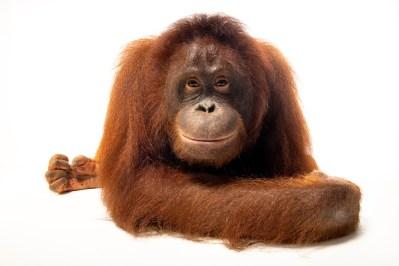 Photo: A central Bornean orangutan (Pongo pygmaeus wurmbii) at the Avilon Wildlife Conservation Foundation.