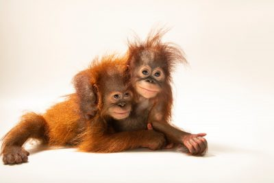 "D.J. is an 11-month-old Sumatran orangutan (Pongo abelii) and Dirgahayu ""Ayu"" is an 11-month-old Bornean orangutan (Pongo pygmaeus). Unfortunately, both species are critically endangered, in large part due to the palm oil crisis. Both of these juvenile primates are cared for by the Taman Safari in Bogor, West Java, Indonesia."
