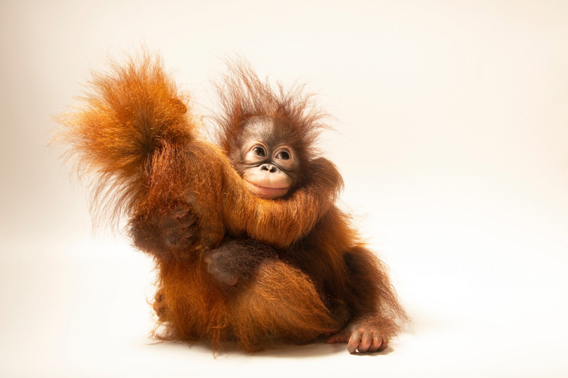 """D.J. is an 11-month-old Sumatran orangutan (Pongo abelii) and Dirgahayu """"Ayu"""" is an 11-month-old Bornean orangutan (Pongo pygmaeus). Unfortunately, both species are critically endangered, in large part due to the palm oil crisis. Both of these juvenile primates are cared for by the Taman Safari in Bogor, West Java, Indonesia."""