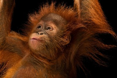 Photo: A critically endangered, 11-month-old Sumatran orangutan (Pongo abelii) at Taman Safari in Bogor, West Java, Indonesia.