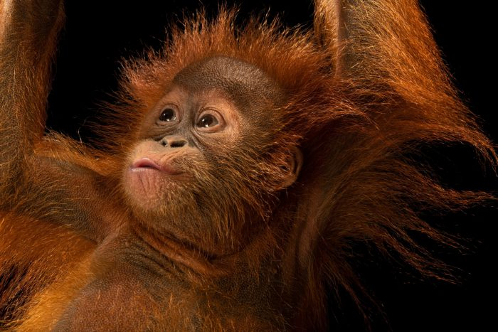 D.J. is an 11-month-old Sumatran orangutan (Pongo abelii). This species is critically endangered, in large part due to the palm oil crisis. This juvenile primate is cared for by the Taman Safari in Bogor, West Java, Indonesia.