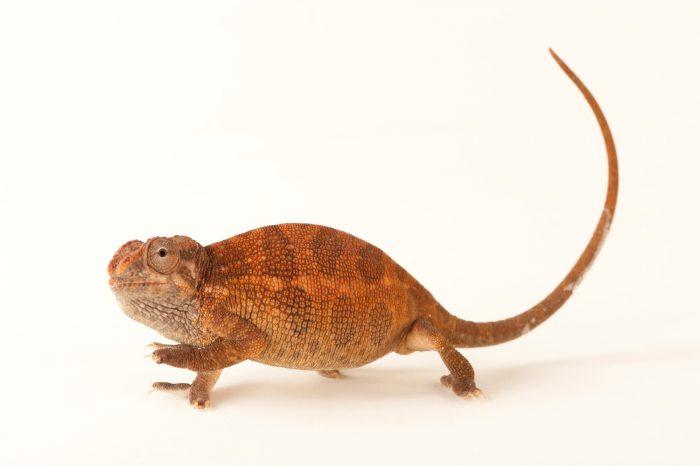 A female Mt. Kilimanjaro two-horned chameleon or dwarf Fischer's chameleon (Kinyongia tavetana) from Omaha Henry Doorly Zoo