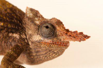 Dwarf fischers chameleon images joel sartore a male mt kilimanjaro two horned chameleon or dwarf fischers chameleon kinyongia tavetana thecheapjerseys Images