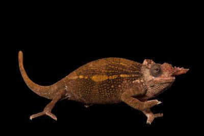 Dwarf fischers chameleon images joel sartore a male mt kilimanjaro two horned chameleon or dwarf fischers chameleon kinyongia tavetana thecheapjerseys Choice Image