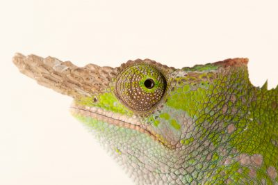 Fischers chameleon images joel sartore fischers chameleon kinyongia fischeri at the omaha thecheapjerseys Choice Image