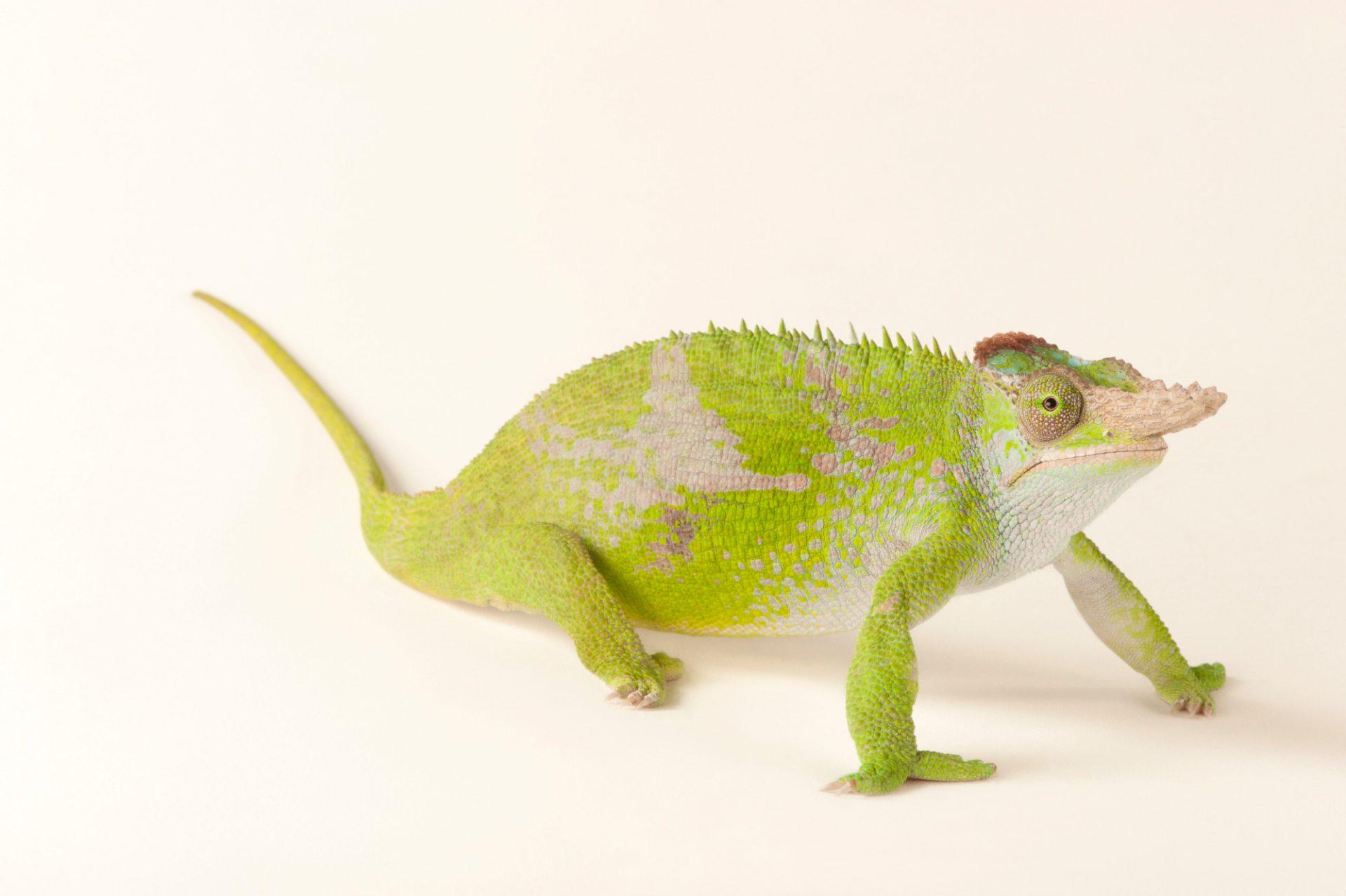 Fischer's chameleon (Kinyongia fischeri) at the Omaha Zoo.