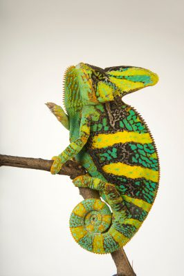 A veiled Chameleon (Chamaeleo calyptratus) in Lincoln, Nebraska.