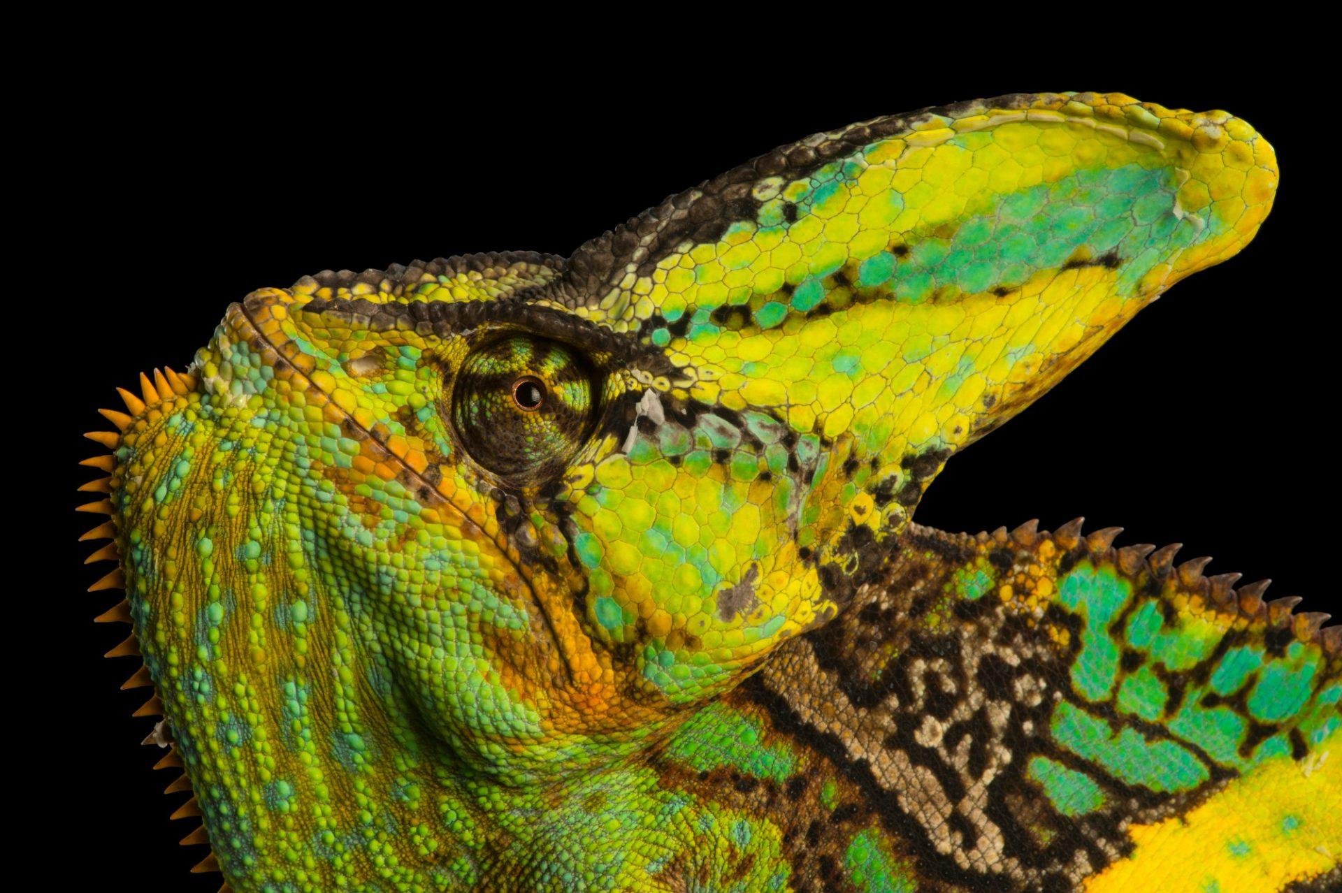 Picture of a veiled chameleon (Chamaeleo calyptratus), Lincoln, Nebraska.
