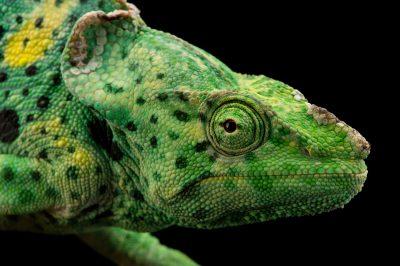 Picture of a Meller's chameleon (Trioceros melleri) named Petunia at the Dallas World Aquarium.